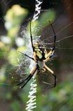 Gul trädgårds- spindel i hennes rengöringsduk med rovet Fotografering för Bildbyråer