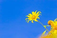 Gul trädringblomma eller Maxican solros arkivbild