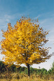Gul tree i höst Royaltyfri Foto