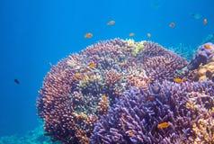 Gul tropisk fisk i korall Undervattens- foto för tropiska kustdjur Royaltyfri Foto