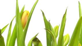 Gul Tulip Flower Time-schackningsperiod stock video