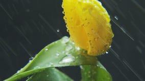 Gul tulpan i regnet som roterar arkivfilmer