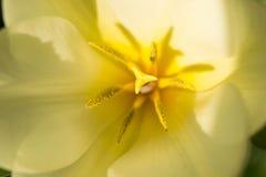 Gul tulpan med detaljer Royaltyfria Bilder
