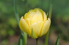 Gul tulpandubblettskönhet av Apeldoorn fotografering för bildbyråer