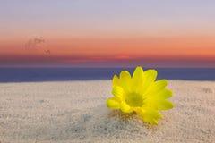 Gul tusensköna och solnedgång Royaltyfri Foto