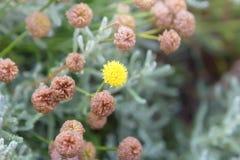 Gul växt av släktet Trifoliumblomma i ängen Royaltyfri Foto