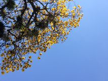 Gul vår/Primavera amarilla arkivbild