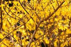 Gul vår som blommar buskeblommor - forsythiaintermedia royaltyfri fotografi