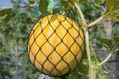 Gul vattenmelon Fotografering för Bildbyråer