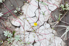 Gul vildblomma och sprucken gyttja Arkivfoton