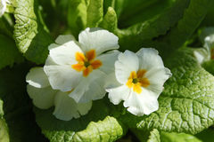 Gul vulgaris primulaprimula Royaltyfri Bild