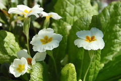 Gul vulgaris primulaprimula royaltyfri foto