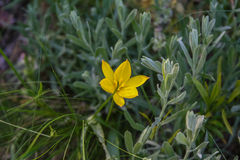 Gul wild blomma Royaltyfri Fotografi