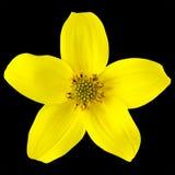 Gul Wild blomma med fem isolerade Petals Arkivfoto
