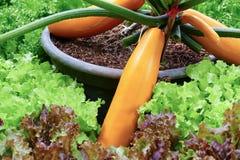 Gul zucchini som växer i jordbruks- organisk lantgård Fotografering för Bildbyråer