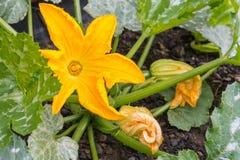 Gul zucchiniblomma i blom Royaltyfri Bild
