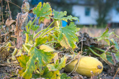 Gul zucchinizucchini på trädgården Arkivfoton