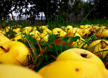 Gula äpplen Arkivbilder