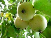 Gula äpplen på en filial Royaltyfria Bilder