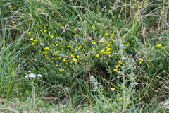 Gula örter, grönt gräs royaltyfria bilder