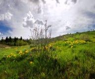 Gula Arrowleaf Balsamroot vildblommor i den Rocky Mountain våren Royaltyfria Bilder