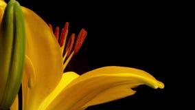 Gula asiatiska Lily Blooming Timelapse Fotografering för Bildbyråer