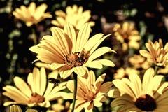 Gula asterblommor med bin arkivbilder