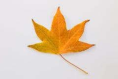 Gula Autumn Leave royaltyfria bilder