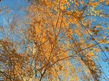 Gula björkar mot den blåa himlen royaltyfria foton