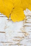 Gula björkleaves på det vita björkskället Arkivfoton