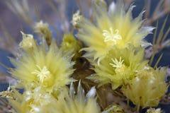 Gula blåa blommor för trummakaktus royaltyfria foton