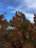 Gula blad på vinrankor arkivfoto