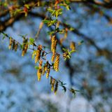Gula blomma örhängen royaltyfria bilder
