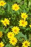 Gula blomma blommor Fotografering för Bildbyråer