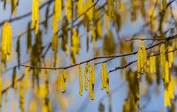 Gula blomma hasselnöthängeörhängen på solig dag Lott av härlig och högt allergenic avellana för hasselträhängeCorylus royaltyfri bild