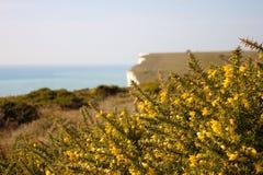 Gula blommande buskar framme av vita klippor royaltyfria foton
