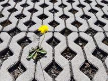 Gula blommande groddar för en maskrosblomma mellan latticed konkreta tjock skiva i dagen Liv erövrar död och civilisation D royaltyfri foto