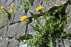 Gula blommande maskrosor på gråa stenar Arkivbilder