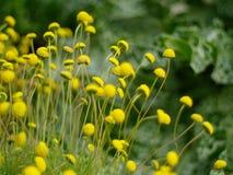 Gula blommor Arkivfoton