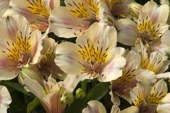Gula blommor av en alstroemeria eller en peruansk lilja arkivfoton