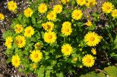Gula blommor av en kamomill arkivfoton