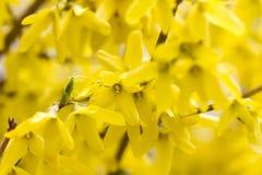 Gula blommor av forsythiaträdet, försiktig konstnärlig bild för romantisk vår royaltyfri bild