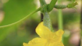 Gula blommor av gurkor blommar p? busken blomma gurkor som ?r fullvuxna i ?ppen jordning Koloni av gurkor arkivfilmer