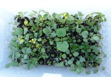Gula blommor blommar i detta gröna grönsaker som är fullvuxna i en ask royaltyfria bilder