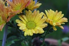 Gula blommor bredvid orange och r?da blommor royaltyfria foton