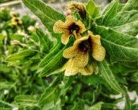 Gula blommor - Hyoscyamus Niger royaltyfri foto