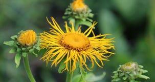 Gula blommor i gården i sommaren stock video