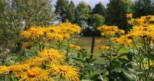 Gula blommor i gården i sommaren lager videofilmer