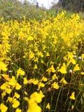 Gula blommor i rainforesten i Laos royaltyfria foton