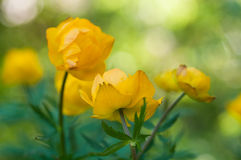 Gula blommor i trädgård royaltyfria foton